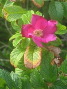 """""""Eine Rose ist eine Rose ist eine Rose."""" Auf die Betonung kommt es an. Foto: Juliane Brumberg"""